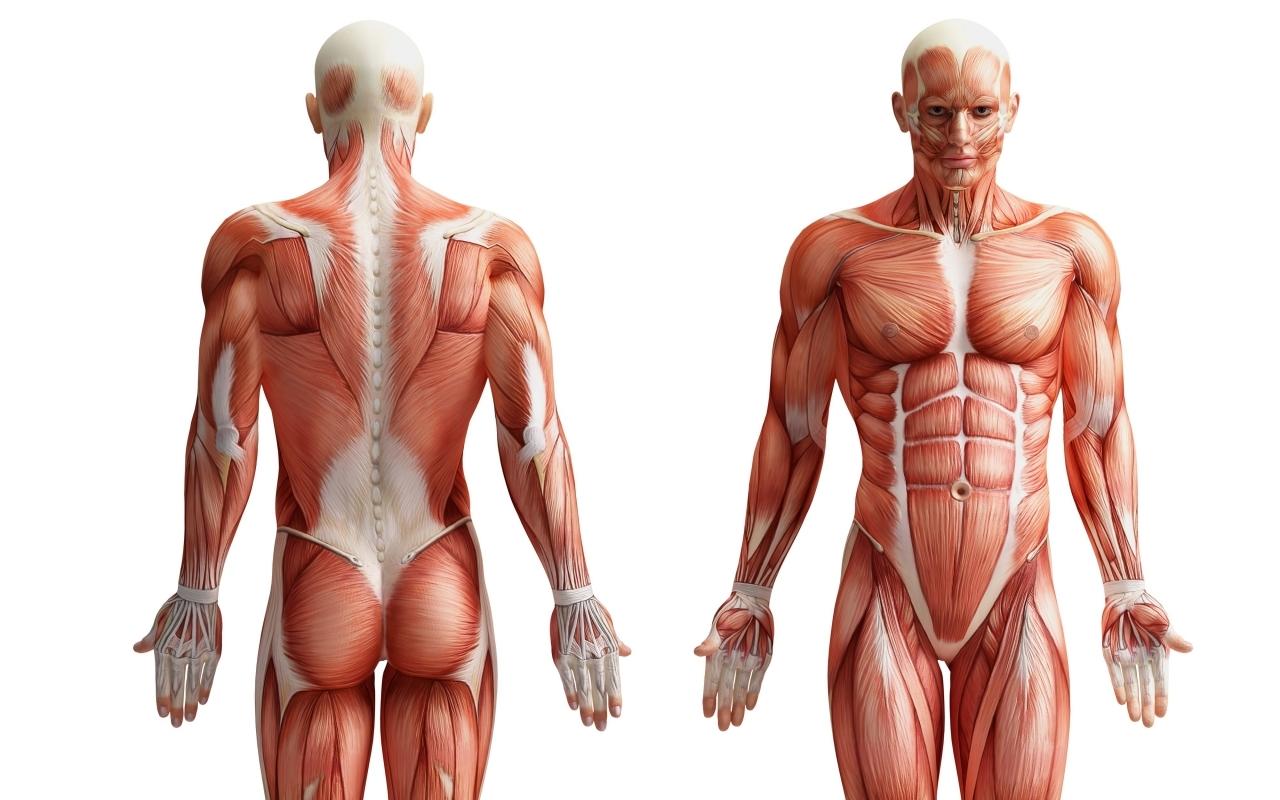 Stora och små muskler